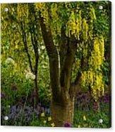 Laburnum Tree In Bloom Acrylic Print