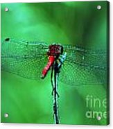 Lace Wings Acrylic Print