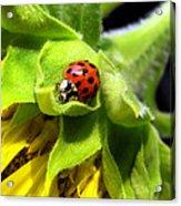 Ladybug And Sunflower Acrylic Print