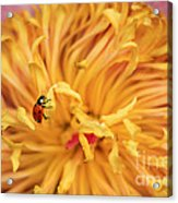 Lady Bug Acrylic Print by Darren Fisher