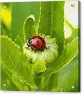 Lady Bug In The Garden Acrylic Print