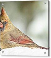 Lady Cardinal In The Snow Acrylic Print