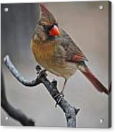 Lady Cardinal Acrylic Print by Skip Willits