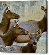 Lady Elk Acrylic Print