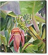 Lady Fingers - Banana Tree Acrylic Print