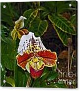 Lady Slipper Orchid Acrylic Print