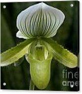 Lady Slipper Orchid Acrylic Print