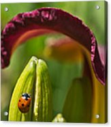 Ladybird Beetle Cuddled By Lily Blossom 4 Acrylic Print