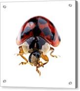 Ladybird Macro Acrylic Print