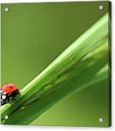 Ladybird On Green Leaf Acrylic Print