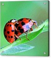 Ladybug And Gentlemanbug Acrylic Print
