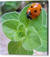 Ladybug And Oregano Acrylic Print