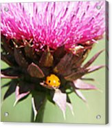Ladybug And Thistle Acrylic Print by Marilyn Hunt
