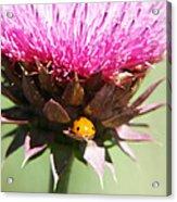 Ladybug And Thistle Acrylic Print by Marilyn Hunt