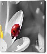 Ladybug Black And White In Colorkey Acrylic Print