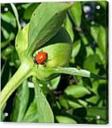 Ladybug Ladybug  Acrylic Print
