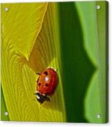 Ladybug Macro Acrylic Print