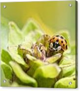 Ladybug On A Bud Acrylic Print
