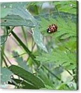 Ladybug On A Leaf Acrylic Print