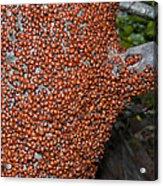 Ladybug Tree Acrylic Print