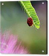 Ladybug With Mimosa Acrylic Print