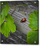 Ladybugs Mating Acrylic Print