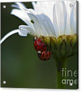 Ladybugs On Shasta Daisy Acrylic Print