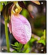 Ladyslipper  Wildflower Acrylic Print
