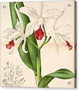 Laelia Elegans Acrylic Print by Philip Ralley