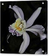 Laeliocattleya Jacki Stidham Acrylic Print