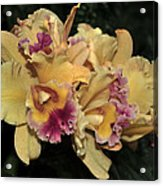Laeliocattleya Lydia Hubbell Acrylic Print
