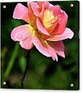 Lafter Tea Rose 8995 Acrylic Print