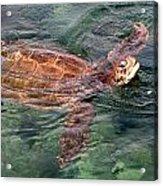 Lager Head Turtle 001 Acrylic Print
