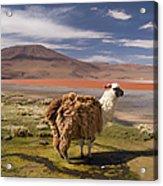 Laguna Colorado Lake With Llama Acrylic Print