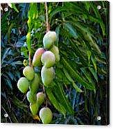 Lahaina Mango 1 Acrylic Print
