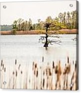 Lake Mattamuskeet Nature Trees And Lants In Spring Time  Acrylic Print