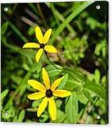 Lake Winfield Scott Wild Black-eyed Susan Flowers Acrylic Print