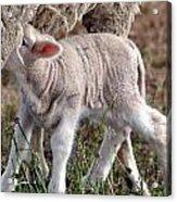 Lamb Babe Acrylic Print