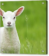 Lamb In A Meadow Acrylic Print
