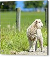 Lamb On The Farm Acrylic Print