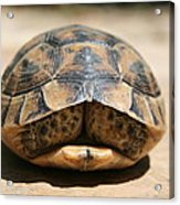 Land Turtle Hiding In Its Shell  Acrylic Print