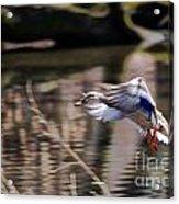 Landing Mallard Acrylic Print
