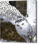 Landing Of The Snowy Owl Where Are You Harry Potter Acrylic Print