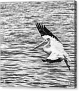 Landing Pelican In Black And White Acrylic Print