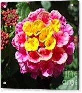 Lantana Blooms And Buds Acrylic Print