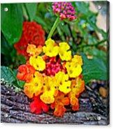 Lantana Flowers 2 Acrylic Print