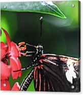 Laparus Doris Butterfly Acrylic Print