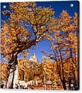 Larch Trees Frame Prusik Peak Acrylic Print