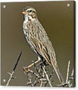 Large-billed Savannah Sparrow Acrylic Print
