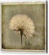 Large Dandelion Acrylic Print
